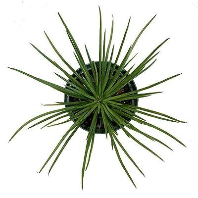 AchmadAnam - Live Plant - Plant Agave Geminiflora 3-Inch Deep Pot Indoor Houseplant : Garden & Outdoor