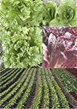 45 Mixed Lettuce Seeds Romaine, Buttercrunch, Bl Seed Simp & others