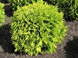 6 Year PLANT of Thuja Occidentalis Golden Globe