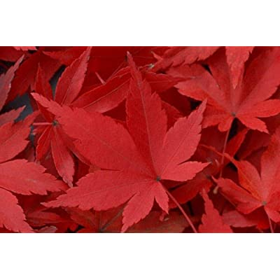 Special 10 - Scarlet Red Maple Ornamental Shade Trees : Garden & Outdoor