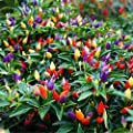 50PCS Garden Ornamental Hot Pepper Seed Organic Chilli Pepper Seeds