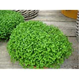 Herb - Mentha requienii - Corsican Mint - Mint Mini - 50 Pelleted Seed