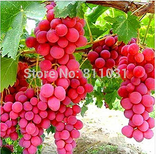 red grape seeds - 7