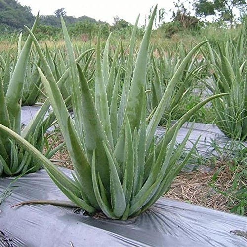 Gracefulvara 100pcs Aloe Vera Seeds Rare Herbal Medicinal Succulent Plant