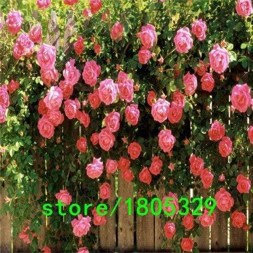 9: 100 semillas de rosa rosadas chinas hermosas flores florales fáciles de cultivar decoración de jardín diy ideal: Amazon.es: Jardín