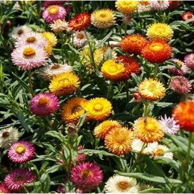 Strawflower- Tom Thumb Mix- 200 Seeds : Garden & Outdoor