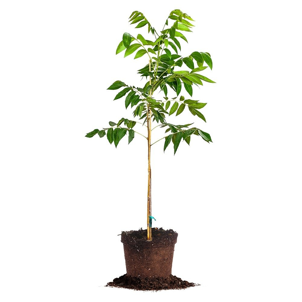 DESIRABLE PECAN TREE - Size: 5 Gallon, live plant, includes special blend fertilizer & planting guide