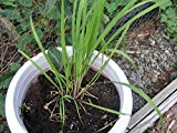 seedusa 35 Seeds Mosquito Repelling Lemon Grass Plant (SEEDS ONLY)