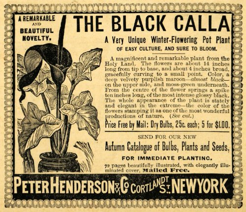 1892-ad-peter-henderson-black-calla-flower-plants-bulbs-seed-seeding-agriculture-original-print-ad