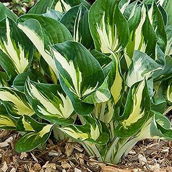 Gardenexpert Hosta Sting 15 Cm Pot Size Bluegreenwhite 20 X 20
