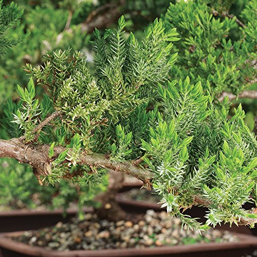 """Brussel's Live Green Mound Juniper Outdoor Bonsai Tree - 10 Years Old; 16"""" to 20"""" Tall with Decorative Container, Humidity Tray & Deco Rock - Not Sold in California"""