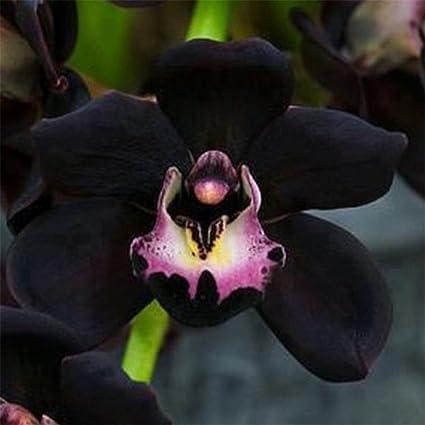 Amazon Com Super1798 100pcs Rare Black Cymbidium Faberi Orchid