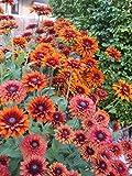 NEW! 20+ RUDBECKIA SAHARA FLOWER SEEDS, DEER RESISTANT, PERENNIAL FAST GROWING