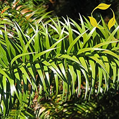 CHINA FIR Cunninghamia Lanceolata 25,50 SEEDS