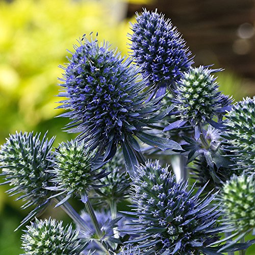 Blue Hobbit Sea Holly Perennial - Eryngium - Live Plant - Quart Pot ()