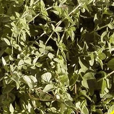 Everwilde Farms - Vulgare Oregano Herb Seeds - Gold Vault