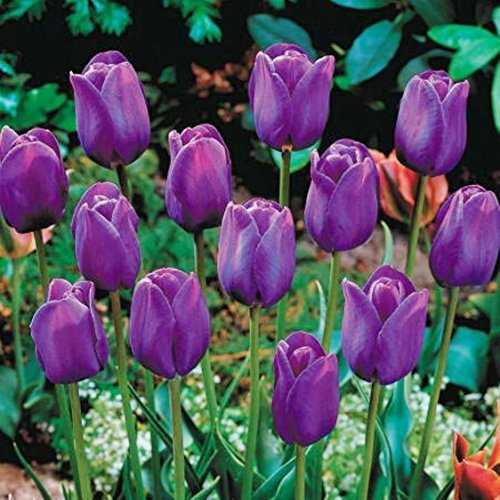 (Nianyan 5 Bulbs Purple Prince Regal Perennial Tulip Bulbs)