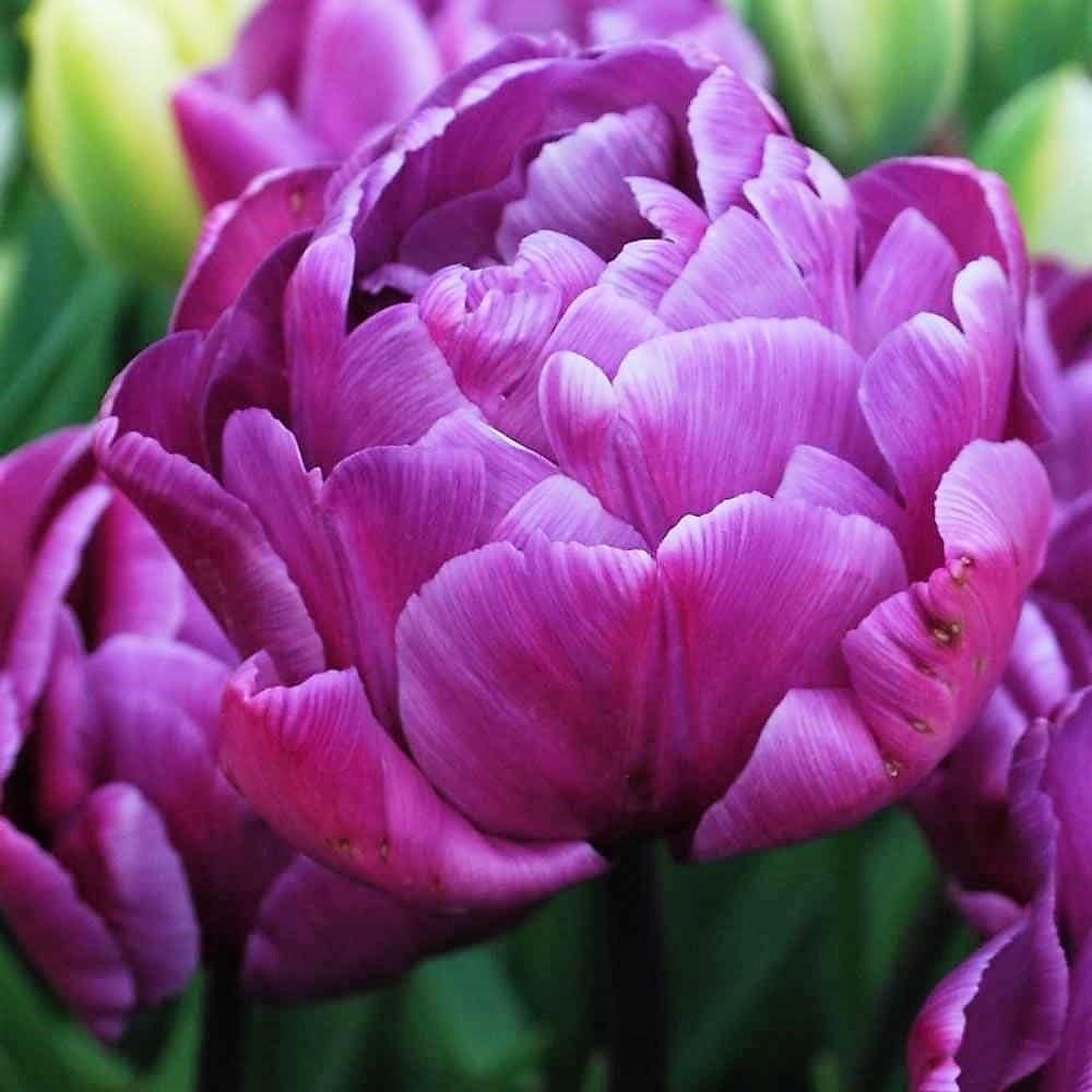 Humphreys Garden Double late Tulip Tulip/án Blue Diamond x 30 Bulbs bulbos Size 10//11