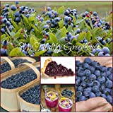 SEEDS - Canada's Saguenay Lac St-Jean Wild Blueberries Abundance Lowbush! SHIPS FROM CANADA!