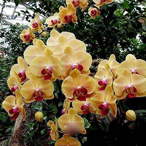 100 PCS Unique Mix-Color Bonsai Beautiful Adorable Butterfly Orchid Flower Seeds For Home & Garden Elegant Plant