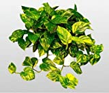 jmbamboo-Golden Devil's Ivy - Pothos - Epipremnum - 4.5'' Hanging Pot - Very Easy to Grow