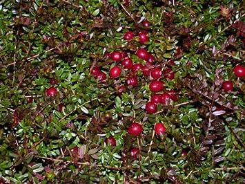 Prächtig Cranberry Cranberries Vaccinium macrocarpon amerikanische @NV_09