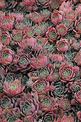 Red Beauty Hen and Chick Hardy Plant Succulent-Zone 3 to 9 Ready