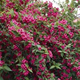 Old Fashioned Weigela Bush Seeds (Weigela florida) (80)