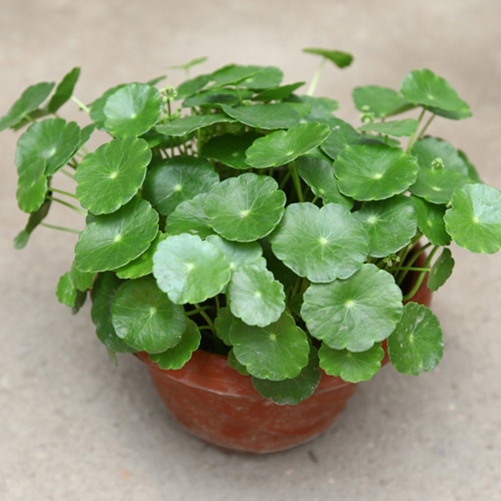 Home Decor Plants Flowers Seeds Hydrocotyle Verticillata Seeds Planting Home Bonsai Garden Decor Beauty