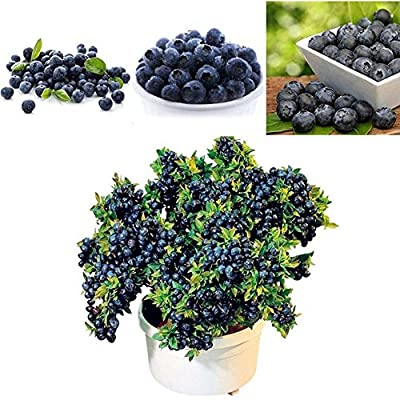 LOadSEcr's Garden 50Pcs Blueberry Tree Seeds Fruit Food Seed Non-GMO Ornamental Plants Yard Office Decoration, Open Pollinated Seeds