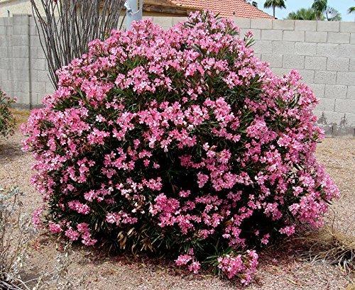 Flower Seeds for Planting in pots nerium Oleander (Peach, Dwarf) - Pink Plant for Decor 20 Seeds Kitchen Garden Seeds Pack