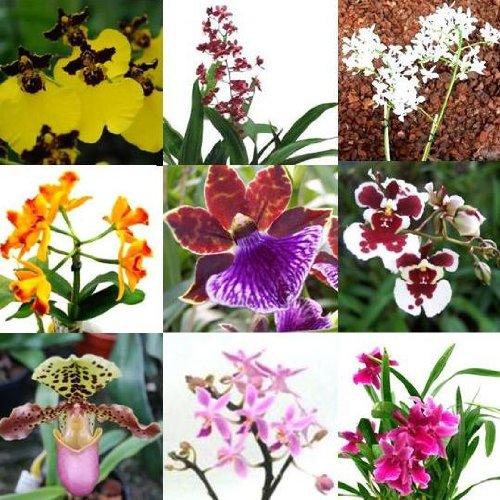 4 blühende Orchideen im Topf, Überraschungspflanzen, 2 Rispen pro Pflanze