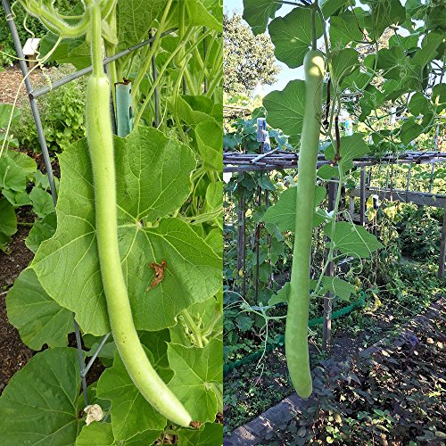 - BigFamily Green Long Bottle Gourd Seeds Organic Seeds For Garden Balcony Pack