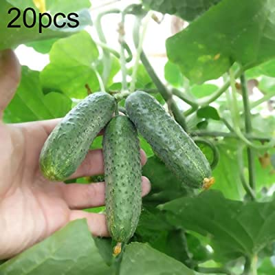 20Pcs Organic Cucumber Seeds Home Garden Yard Farm Plant Nutritious Vegetable - Cucumber Seeds : Garden & Outdoor