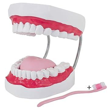 Modelo de Dental Dentadura Mandíbula Cepillo de Dientes Cuidado Dental MedMod: Amazon.es: Salud y cuidado personal
