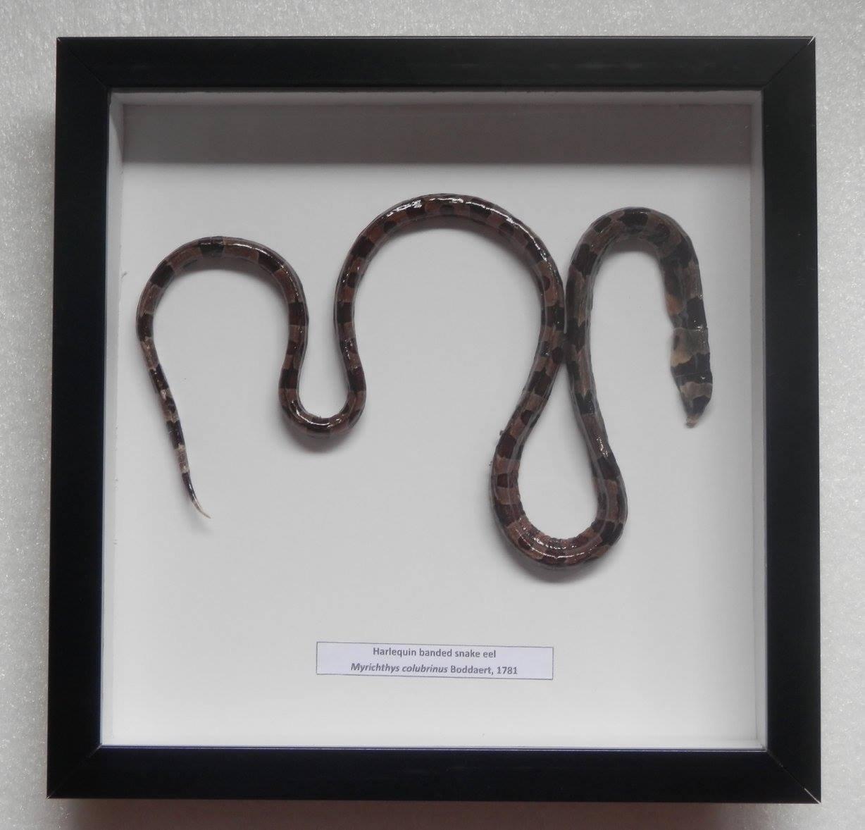 05359 Real Frame Freeze Dried Taxidermy Banded Snake Eel - Myrichthys colubrinus