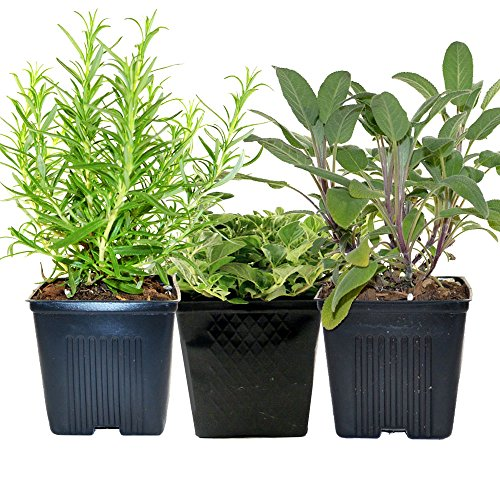 Stargazer Perennials Organic Chefs Herb Plant Collection Sage, Oregano, Rosemary 3 Live Plants Herb Kits Organic Grown Herbs All Non-GMO Fresh Herbs