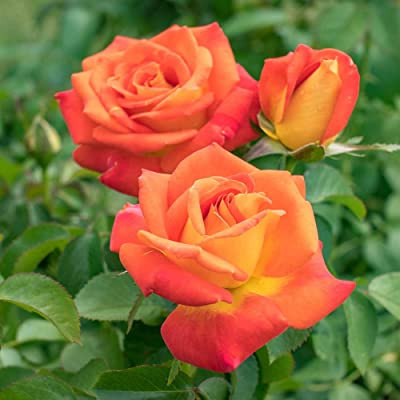 Burst of Joy Floribuna Rose, Live Bareroot Plant, Orange and Yellow Flowers (1-Pack) : Garden & Outdoor