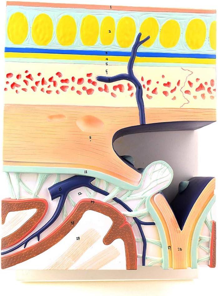Accesorios de Aprendizaje Modelo anatómico Humano, Modelo anatómico anatómico en Capas de la Base del cráneo, Cuero cabelludo sinusal dural Estructura de 5 Capas Cuero cabelludo Anatomía Eco