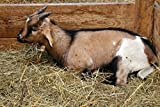 Home Comforts Acrylic Face Mounted Prints Stall Cute Pet Domestic Goat Hay Livestock Goat Print 14 x 11. Worry Free Wall Installation - Shadow Mount is Included.