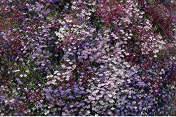 Just Seed Flower Trailing Lobelia Fountain Mix 5000 Seed