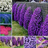 Qenci Seeds - 100 Pieces Creeping Thyme Bonsai Seeds Rare Ground Covering Cress Seeds Rugs Plant Perennial Flower Bee-Friendly Ornamental Plants for Home Gardening