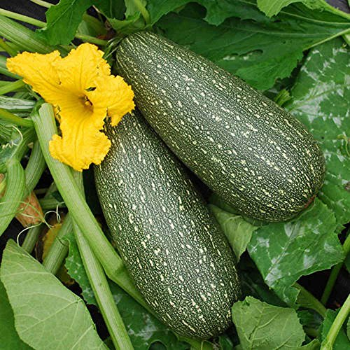 Zucchini , Grey Zucchini Squash, 25 seeds per pack, Organic, NON GMO,has been a favorite of vegetable gardeners since the 1950's.