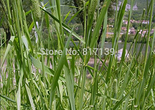 Arrival Home Garden Plant 50 Seeds DERBY TIMOTHY GRASS Or...
