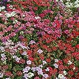 Outsidepride Verbena Mix - 1000 Seeds
