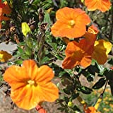 Streptosolen jamesonii | Marmalade Bush| Firebush | 200_Seeds