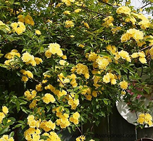 - Lady Banks Yellow Climbing Rose - Live Plant - Quart Pot