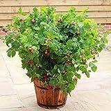 Patio Raspberry 'Ruby Beauty' Plant in a 13cm Pot. NEW