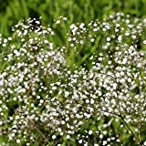 1 Starter Perennial Gypsophila - Baby's Breath. Extreamly Fine and Delicate Beauty!