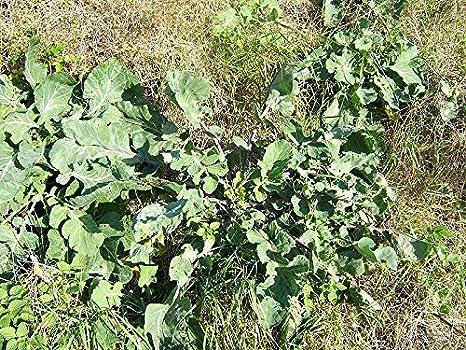 Portal Cool 100G semillas de col roja Nt / germinado ...